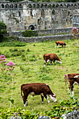 High angle view of small herd of cows grazing near ruins of the Bishop's Palace, St Davids, Pembrokeshire, Wales, UK.