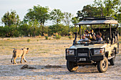 A lion close to a safari vehice with tourists out in the bush.