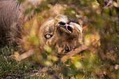 A large male lion, Panthera leo, resting.