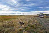 African wild dogs, Lycaon pictus in long grass.