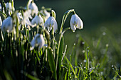 Close up of a field of snowdrops in spring.