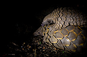 A pangolin, Smutsia temminckii, lies on the ground while her pup lies on her back, blacked out background