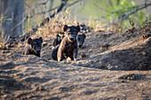 Hyena cubs, Crocuta crocuta, walk out of their den site, ears perked up in the sunlight