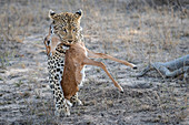 A leopard, Panthera pardus, walks towards the camera, holding an impala calf carcass in its mouth, Aepyceros melampus