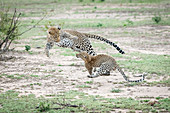 A mother leopard, Panthera pardus, jumps and plays with her cub, both jumping in the air