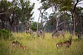 A group of oryx and zebra in long grass, heads raised.