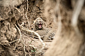 Newly born leopard cubs, Panthera pardus, lie together between roots and mud walls, one cub opens it mouth with closed eyes