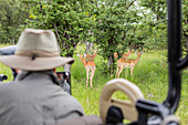 blurred guide looking at impala from safari vehicle, Botswana