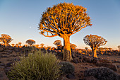Quiver tree forest at Quiver Tree Forest Rest Camp at sunset, Keetmanshoop, Namibia