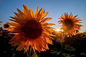 Sunflowers on a field in the evening mood in backlight shot. Aubing, Munich, Upper Bavaria, Bavaria, Germany, Europe