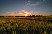 Grain field in the evening mood with the sun setting as a back light shot. Bavaria, Germany, Europe,