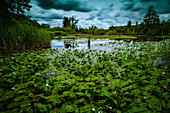 Water lilies on a pond with dramatic cloud skies. Germering, Upper Bavaria, Bavaria, Germany, Europe