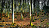 Young beech forest near Starnberg. Starnberg, Upper Bavaria, Bavaria, Germany, Europe