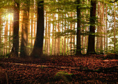 Backlight shot in the morning mood. Mixed forest with beech trees in the foreground and low sun. Pflaumdorf, Geltendorf, Upper Bavaria, Bavaria, Germany, Europe