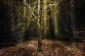 Gegenlichtaufnahme mit tief stehender Sonne in einem Wald, Aubinger Lohe, Oberbayern, Bayern, Deutschland, Europa