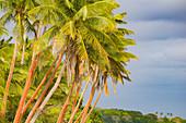 Palm trees and lush tropical vegetation on an uninhabited island, Fiji