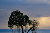 View of a mangrove tree with aerial roots on the beach of the Pacific, Fiji Islands