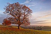 Oak tree in autumn on a meadow with a view of the Ta at sunrise. Montagne Bourbonnaise, Auvergne, France