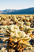 Cholla Cactus Garden, Joshua Tree National Park, Pinto Basin, California, Usa