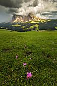 Summer crocus, Alpe di Siusi/Seiser Alm, Sassolungo and Sassopiatto Dolomites, South Tyrol, Bolzano province, Trentino Alto Adige, Italy, Europe