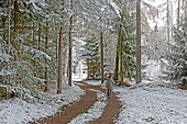 Walk in the larch forest with the first snow, late autumn on the Mieminger plateau, Tyrol