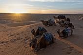 Sunset around Camp Mars village whit dromeday, Sahara desert, Tunisia, Northern Africa.
