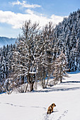 Dog in snowy winter landscape with coniferous forest, Himmelberg, Carinthia, Austria