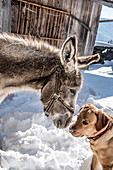 Donkey with dog in the snow, Himmelberg, Carinthia, Austria