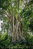 Banyan tree, Vanuatu, South Pacific, Oceania