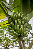 Plantains on the tree, Efate, Vanuatu, South Pacific, Oceania