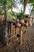 Fresh harvested coconuts, Malekula, Vanuatu, South Pacific, Oceania