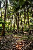 Kopra plantation on Malekula, Vanuatu, South Pacific, Oceania