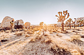 Woman stands at sunset in Joshua Tree National Park, Joshua Tree, Los Angeles, California, USA, North America
