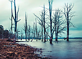 Tote Bäume am Arthurs See, Tasmanien
