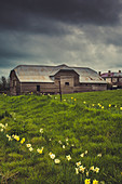 Historic Barn with daffodils near Liffey, Tasmania