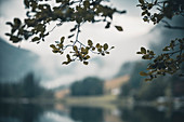 Drooping leaves of a tree at the Hintersee as an image section with selective focus. Hintersee, Berchteslgadener Land, Bavaria, Germany