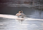 Swans in Alleghe on lake, ice, winter, water, Belluno Dolomites, Veneto, Italy