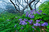 Flowers Pericallis papyracea in Chesnut forest, El Paso Municipality, La Palma island, Canary Islands, Spain, Europe