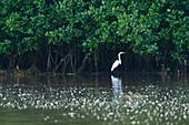 GREAT EGRET (Ardea alba), La Tovara National Park, Ramsar Site, Wetlands of International Importance, San Blas Town, Matanchen Bay, Pacific Ocean, Riviera Nayarit, Nayarit state, Mexico, Central America, America