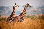 Rothschild's giraffe (Giraffa camelopardalis rothschildi) in Murchisson Falls National Park, Uganda, Africa