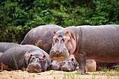 Hippopotamus (Hippopotamus amphibius), group resting,  Queen Elizabeth National Park, Uganda, Africa.