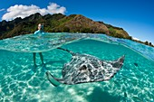 Snorkeling with Pink Whipray in Lagoon, Pateobatis fai, Moorea, French Polynesia