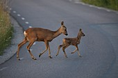 Roe deer with fawn  Botkyrka Sodermanland Sweden