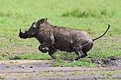 Warthog, Phacochoerus africanus, running, Masai Mara National Reserve, Kenya, Africa