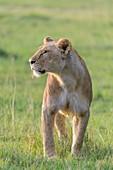 African lion, Panthera Leo, female, Masai Mara National Reserve, Kenya, Africa