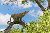 Leopard, Panthera pardus, on tree, Masai Mara National Reserve, Kenya, Africa