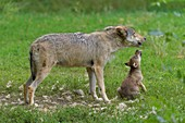 Wolf, Canis lupus, adult with cub