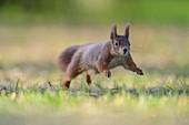 Red Squirrel, Sciurus vulgaris