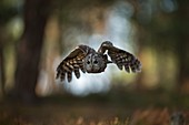Tawny Owl / Waldkauz ( Strix aluco ) in flight, flying through open woods, hunting, frontal shot, in front of nice background, Europe.