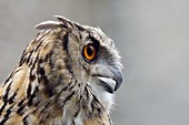 Eagle Owl ( Bubo bubo ), Eurasian Eagle-Owl, also called Northern Eagle Owl or European Eagle-Owl, adult, calling, side view, Europe.